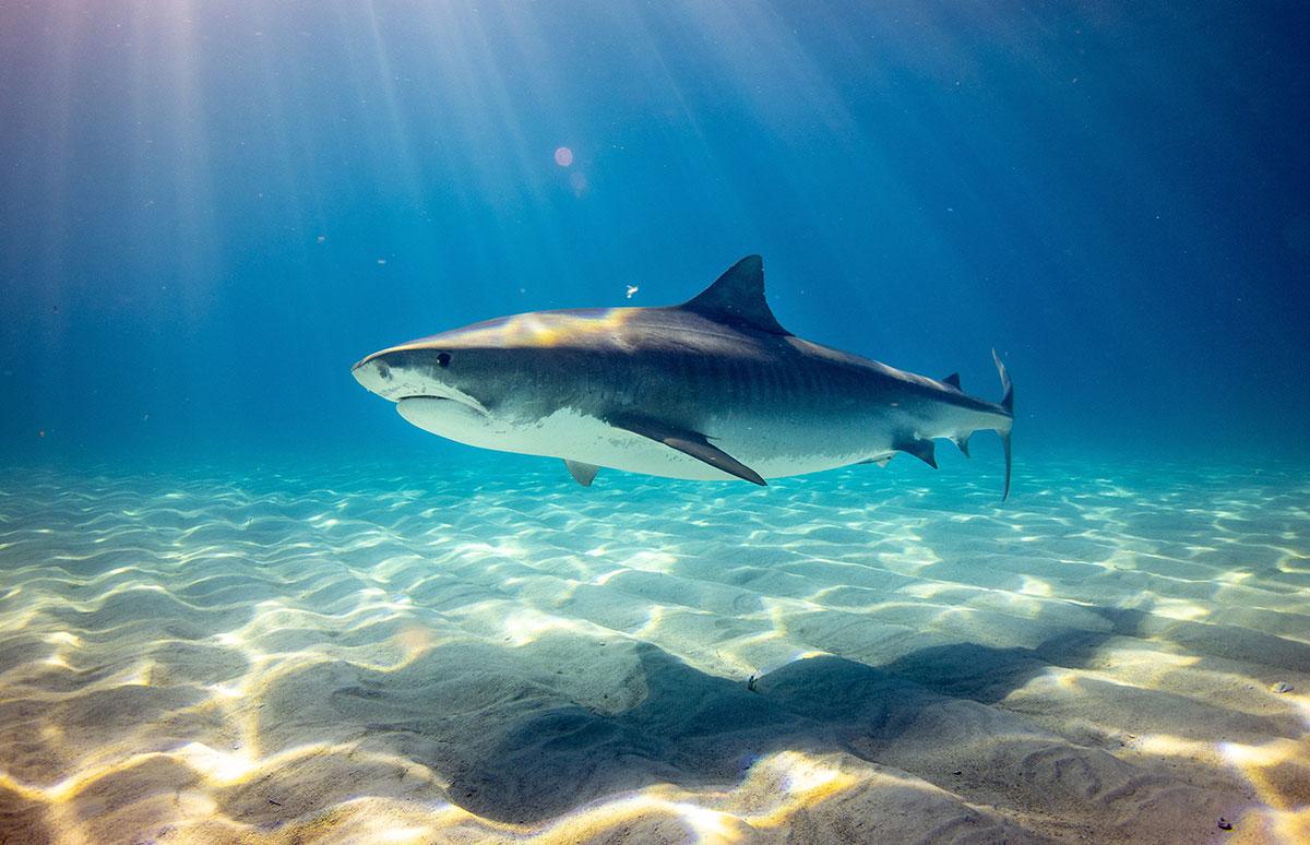 Žralok tygří (Galeocerdo cuvier) – Bahamy, autor: Gerald Schömbs
