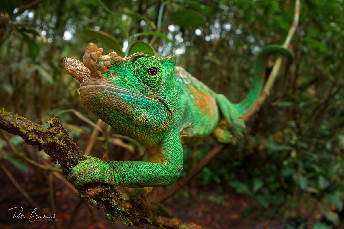 Chameleon parsonův z Madagaskaru, autor: Petr Bambousek
