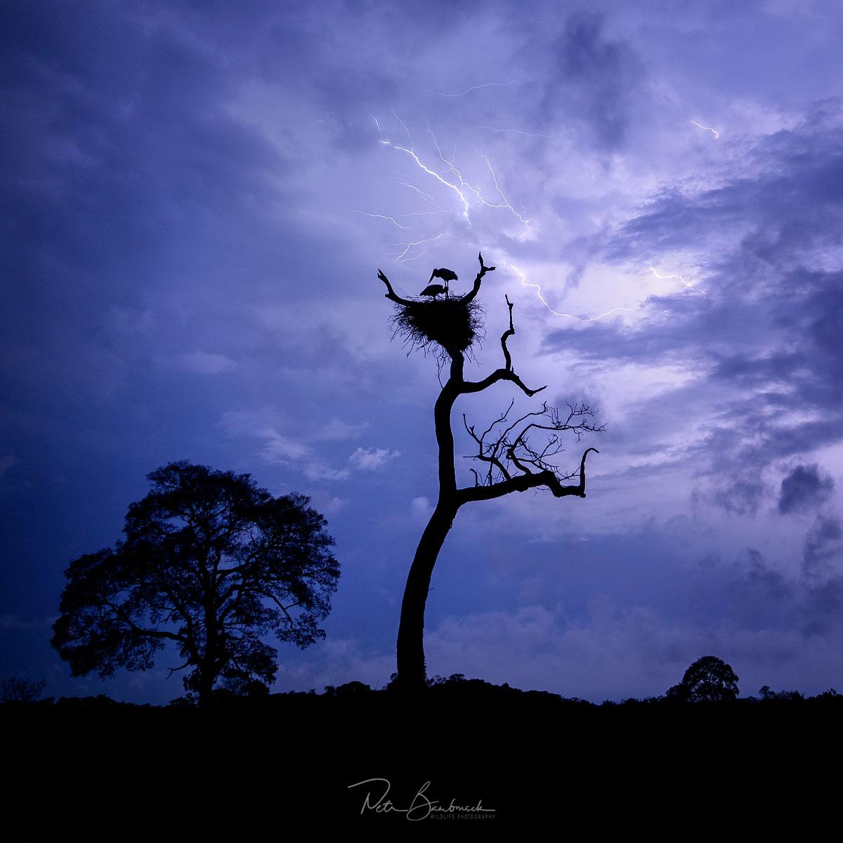 Hnízdo čápa jabiru v bouři na Pantanalu, autor: Petr Bambousek