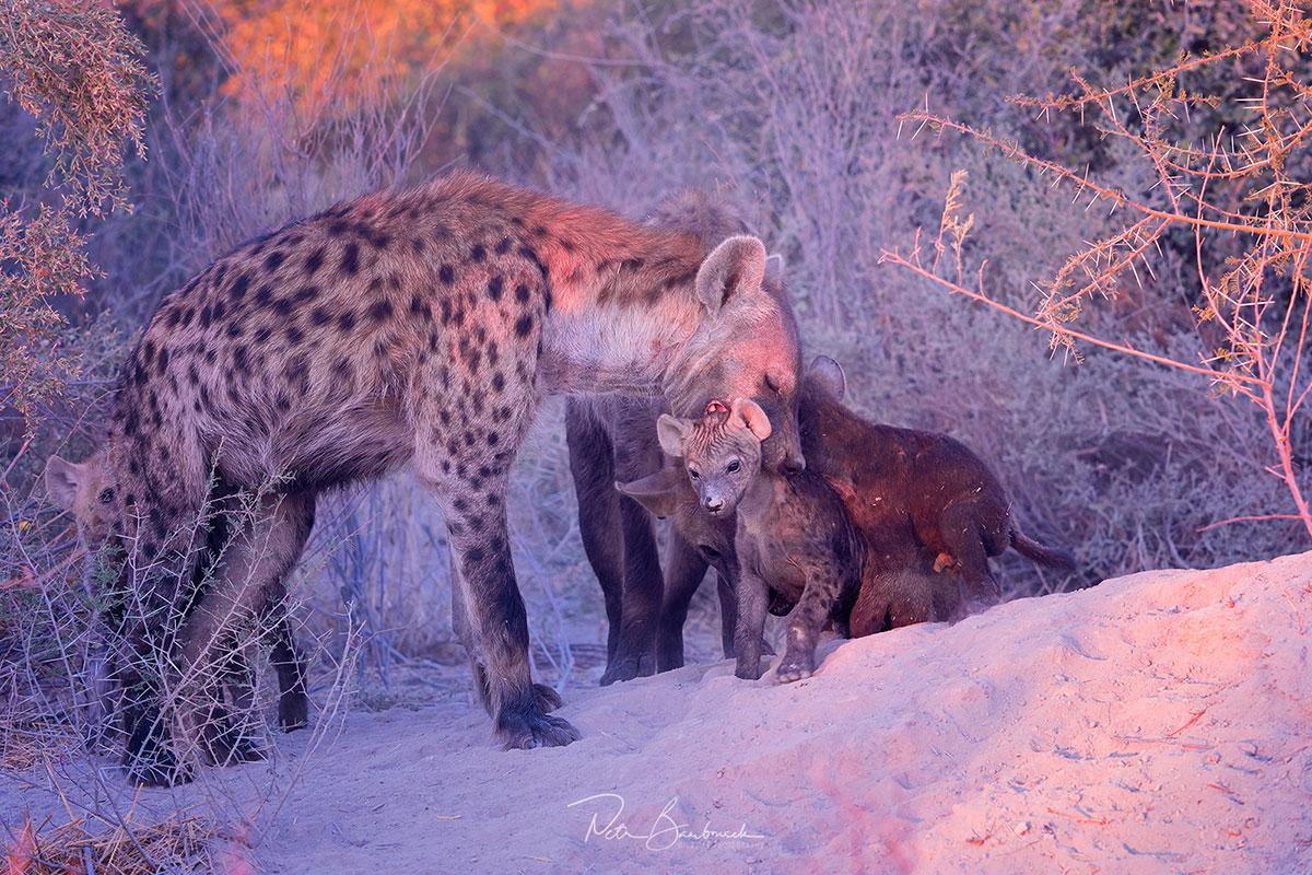 Hyena skvrnitá s mláďaty v Botswaně, autor: Petr Bambousek