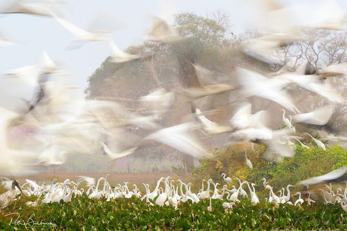 Lovící volavky v Pantanalu, autor: Petr Bambousek