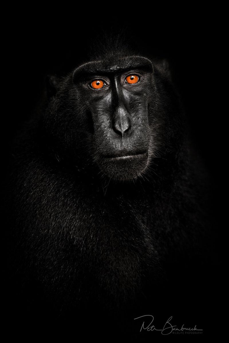 makak chocholatý ze Sulawesi, autor: Petr Bambousek